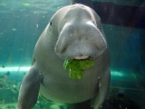 Dugongs: The gem of the Western Indian Ocean